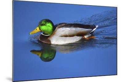 Male Mallard, Reflection, Commonwealth Lake Park, Beaverton, Oregon-Michel Hersen-Mounted Photographic Print