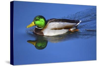 Male Mallard, Reflection, Commonwealth Lake Park, Beaverton, Oregon-Michel Hersen-Stretched Canvas Print
