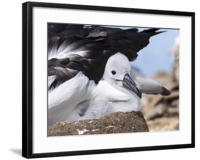 Mollymawk Chick with Adult Bird on Nest. Falkland Islands-Martin Zwick-Framed Photographic Print