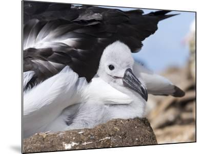 Mollymawk Chick with Adult Bird on Nest. Falkland Islands-Martin Zwick-Mounted Photographic Print