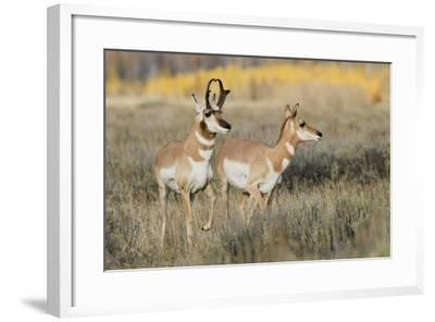Pronghorn Antelope Buck Courting Doe-Ken Archer-Framed Photographic Print