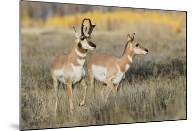 Pronghorn Antelope Buck Courting Doe-Ken Archer-Mounted Photographic Print