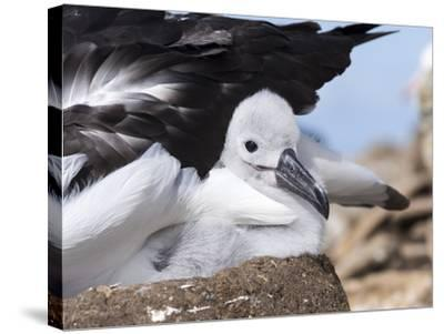 Mollymawk Chick with Adult Bird on Nest. Falkland Islands-Martin Zwick-Stretched Canvas Print