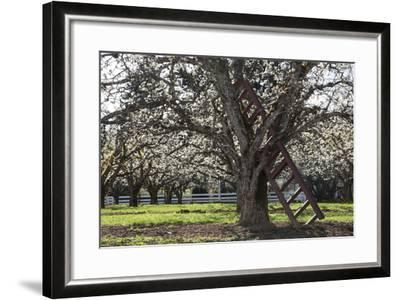 USA, Oregon, Hood River Valley, a Ladder in a Tree in an Orchard-Rick A Brown-Framed Photographic Print