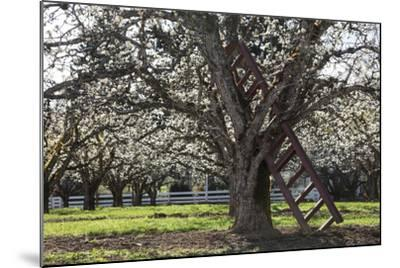 USA, Oregon, Hood River Valley, a Ladder in a Tree in an Orchard-Rick A Brown-Mounted Photographic Print
