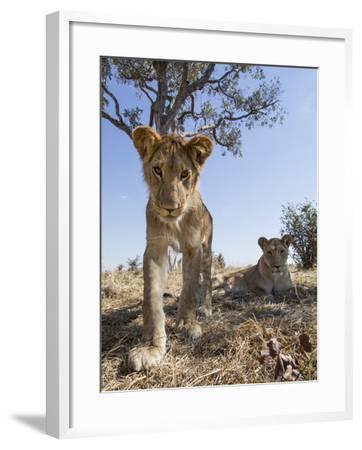 Botswana, Chobe NP, Lion Cub Approaching Remote Camera in Savuti Marsh-Paul Souders-Framed Photographic Print