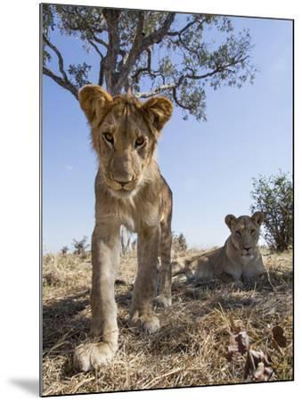 Botswana, Chobe NP, Lion Cub Approaching Remote Camera in Savuti Marsh-Paul Souders-Mounted Photographic Print