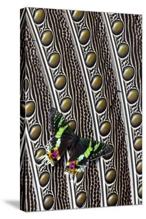 Day-Flying Moth, Madagascan Sunset Moth on Argus Pheasant Design-Darrell Gulin-Stretched Canvas Print