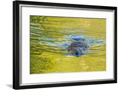 Beaver and Green Reflected Leaf Color, Oxbow Bend, Grand Teton NP, WY-Michael Qualls-Framed Photographic Print