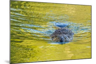 Beaver and Green Reflected Leaf Color, Oxbow Bend, Grand Teton NP, WY-Michael Qualls-Mounted Photographic Print