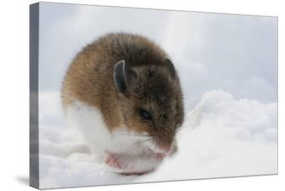 Deer Mouse in Winter-Ken Archer-Stretched Canvas Print