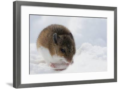 Deer Mouse in Winter-Ken Archer-Framed Photographic Print