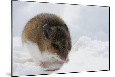 Deer Mouse in Winter-Ken Archer-Mounted Photographic Print