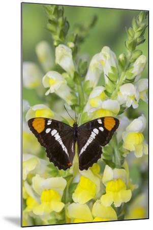California Sister Butterfly on Yellow and White Snapdragon Flowers-Darrell Gulin-Mounted Photographic Print