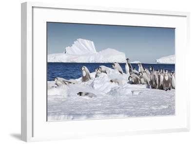 Cape Washington, Antarctica. Emperor Penguin Chicks-Janet Muir-Framed Photographic Print