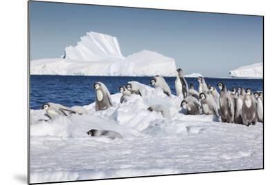 Cape Washington, Antarctica. Emperor Penguin Chicks-Janet Muir-Mounted Photographic Print
