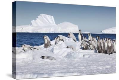 Cape Washington, Antarctica. Emperor Penguin Chicks-Janet Muir-Stretched Canvas Print