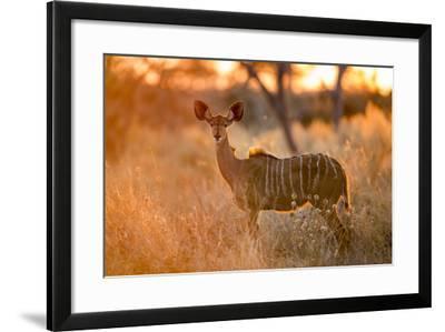 Botswana, Chobe NP, Greater Kudu Standing in Savuti Marsh at Sunrise-Paul Souders-Framed Photographic Print