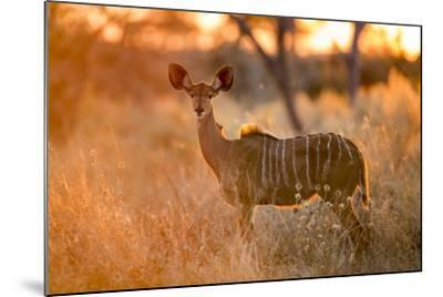 Botswana, Chobe NP, Greater Kudu Standing in Savuti Marsh at Sunrise-Paul Souders-Mounted Photographic Print