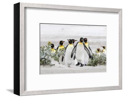 Falkland Islands, South Atlantic. Group of King Penguins on Beach-Martin Zwick-Framed Photographic Print
