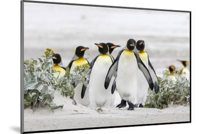Falkland Islands, South Atlantic. Group of King Penguins on Beach-Martin Zwick-Mounted Photographic Print