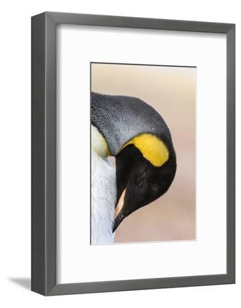 King Penguin, Falkland Islands, South Atlantic. Portrait-Martin Zwick-Framed Photographic Print