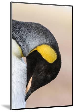 King Penguin, Falkland Islands, South Atlantic. Portrait-Martin Zwick-Mounted Photographic Print