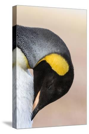 King Penguin, Falkland Islands, South Atlantic. Portrait-Martin Zwick-Stretched Canvas Print