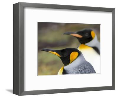 King Penguin, Falkland Islands, South Atlantic. Portrait-Martin Zwick-Framed Photographic Print