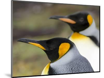 King Penguin, Falkland Islands, South Atlantic. Portrait-Martin Zwick-Mounted Photographic Print
