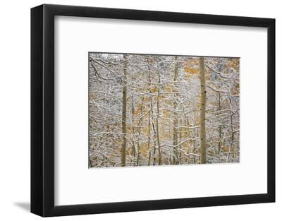 USA, Colorado, San Juan Mountains. Snow on Aspen Trees-Don Grall-Framed Photographic Print
