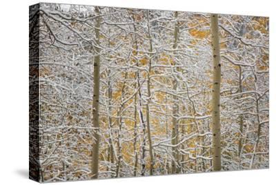 USA, Colorado, San Juan Mountains. Snow on Aspen Trees-Don Grall-Stretched Canvas Print
