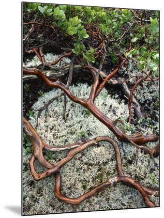USA, Oregon, Mt. Hood NF. Manzanita Plant on Bed of Moss-Steve Terrill-Mounted Photographic Print