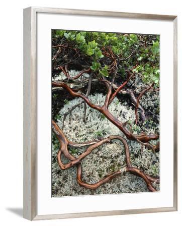 USA, Oregon, Mt. Hood NF. Manzanita Plant on Bed of Moss-Steve Terrill-Framed Photographic Print