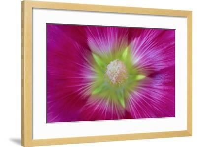 USA, Washington State, Seabeck. Hollyhock Blossom Close-up-Don Paulson-Framed Photographic Print