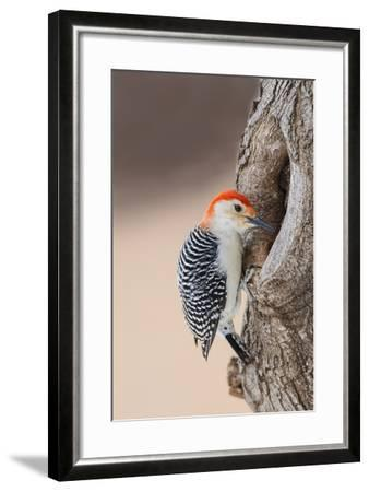 Red-Bellied Woodpecker Hunting for Invertebrates-Larry Ditto-Framed Photographic Print