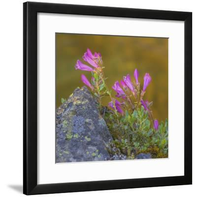 USA, Washington State, Wenatchee NF. Penstemon Flowers Scenic-Don Paulson-Framed Photographic Print