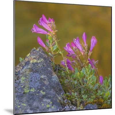 USA, Washington State, Wenatchee NF. Penstemon Flowers Scenic-Don Paulson-Mounted Photographic Print