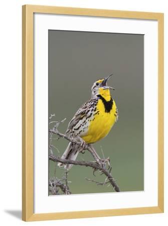 Western Meadow Lark Singing-Ken Archer-Framed Photographic Print