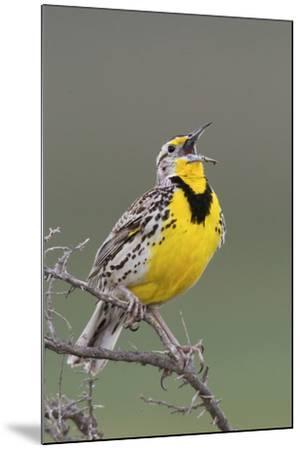 Western Meadow Lark Singing-Ken Archer-Mounted Photographic Print