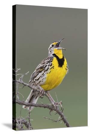 Western Meadow Lark Singing-Ken Archer-Stretched Canvas Print