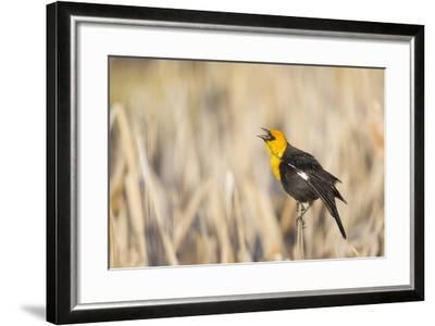 Wyoming, Sublette, Yellow-Headed Blackbird Calling in Cattail Marsh-Elizabeth Boehm-Framed Photographic Print
