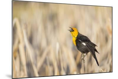 Wyoming, Sublette, Yellow-Headed Blackbird Calling in Cattail Marsh-Elizabeth Boehm-Mounted Photographic Print