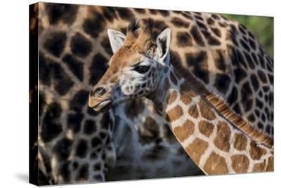 Kenya, Nairobi, Langata, Hog Ranch-Alison Jones-Stretched Canvas Print