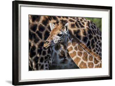 Kenya, Nairobi, Langata, Hog Ranch-Alison Jones-Framed Photographic Print