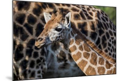 Kenya, Nairobi, Langata, Hog Ranch-Alison Jones-Mounted Photographic Print