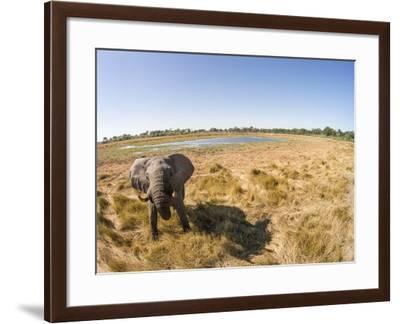 Botswana, Moremi Game Reserve, Elephant in Wetlands of Okavango Delta-Paul Souders-Framed Photographic Print
