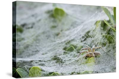 Sheet Spiders with Webs, Los Angeles, California-Rob Sheppard-Stretched Canvas Print