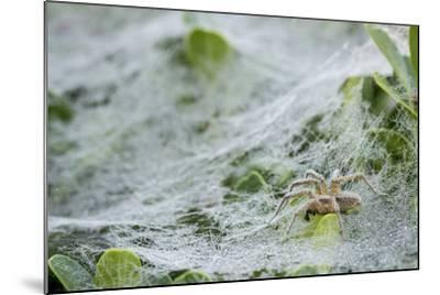 Sheet Spiders with Webs, Los Angeles, California-Rob Sheppard-Mounted Photographic Print