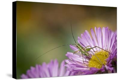 Fork-Tailed Bush Katydid Nymph on Aster, Los Angeles, California-Rob Sheppard-Stretched Canvas Print